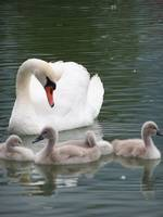 Swan and her young.