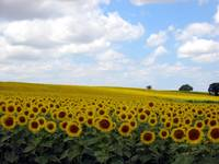 Sunflower Fields, Nerac France