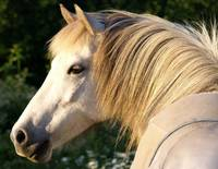 The Icelandic Horse Look