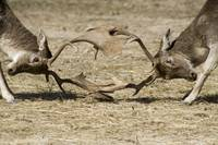 animal deer buck fight