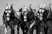 Percherons, b/w