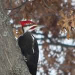"""Pileated Woodpecker"" by MarkDavidJones"