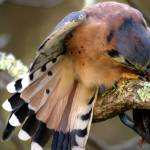 """American Kestrel Shielding its Prey"" by jasonscottmeans"