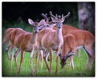 deer herd Re_Post   by cher E 7-7-07 he is on the