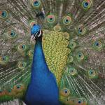 """HGP Image #4 Peacock"" by flowersofseattle"