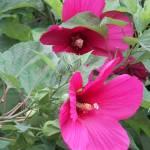 """hibiscus"" by hackshaq"