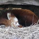 """red panda sleeping"" by hackshaq"