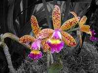 yellow & pink orchids2