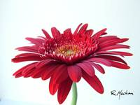 red gerberdaisy2