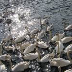 """swans at Kingston-upon-Thames"" by lucia"