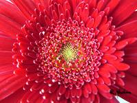 red gerberdaisy3