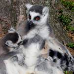 """Lemur - mother and child"" by mmersdesign"