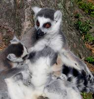 Lemur - mother and child