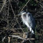 """""""Blue Heron Perched"""" by MarksClickArt"""