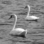 """""""Swans 1"""" by MarksClickArt"""