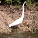 """Great Egret"" by MarksClickArt"