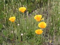 Desert Poppies II