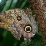 """Owl Butterfly"" by directordave"