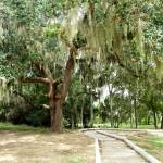 """Tree Draped in Spanish Moss"" by marburg"