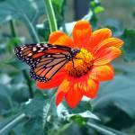 """Monarch Butterfly"" by braeoktober"
