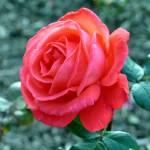 """Red Rose"" by braeoktober"