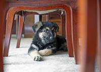 German Shepherd Puppy 6 weeks
