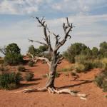 """""""Dead Tree, Moab, Utah"""" by imagesbydevra"""
