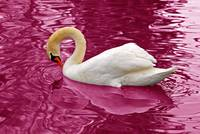 Swan on Encanted Red Waters