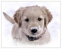 Golden Retriever Puppy - Ruby