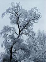 Willow Tree in Snow