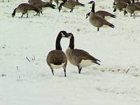 Canadian Geese I