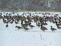 Canadian Geese II