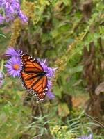 Late Monarch