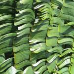"""Bannana Leaves"" by MarksClickArt"