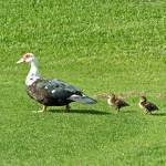 """""""Duck and Ducklings"""" by MarksClickArt"""