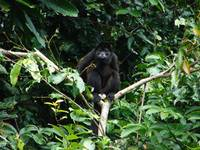 Mantled Howler Monkey, Tortuguero National Park, C