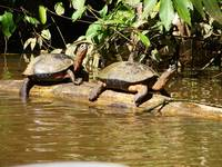 A Pair of Turtles in the Canals of Tortuguero Nati