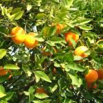 """""""Oranges"""" by gsinpune"""