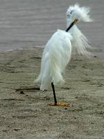 Snowy Egret blowin' in the wind
