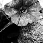 """Black and White flower."" by Kurt"