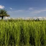 """Paddy field and blue sky.."" by anindya"