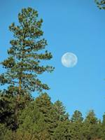 Full Moon Pines