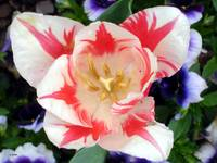 Peppermint Tulip