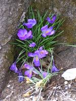 Crocuses II