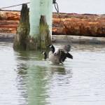 """Canada geese landing in water"" by Skookumchucksam"
