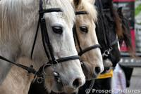 4 Horses Marching during St David Day's Parade