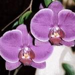 """Purple Orchids"" by oksanafox77"