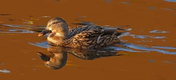 Mallard Hen on Satin Waters on Pond in Pioneer Par