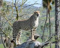 A Cheetah Tree