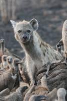 Hyena and vultures on an elephant carcass